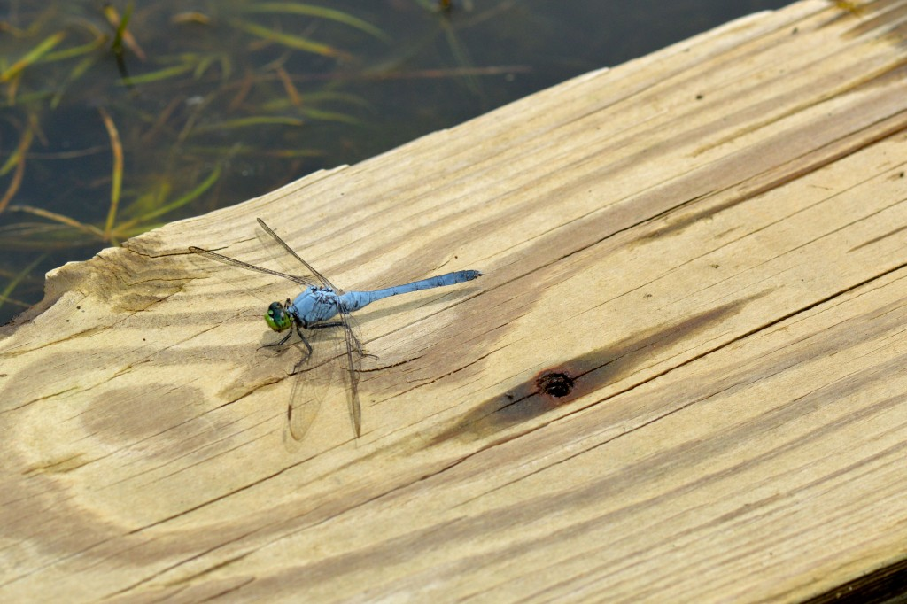 Blue Dragonfly (photo by Kermit Murray)