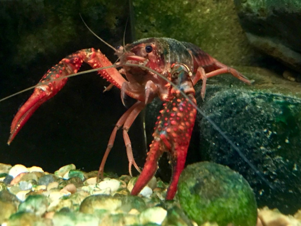 Crawfish at the Baton Rouge Zoo