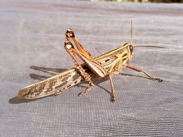 Lubber grasshopper in East Feliciana Parish, 2016