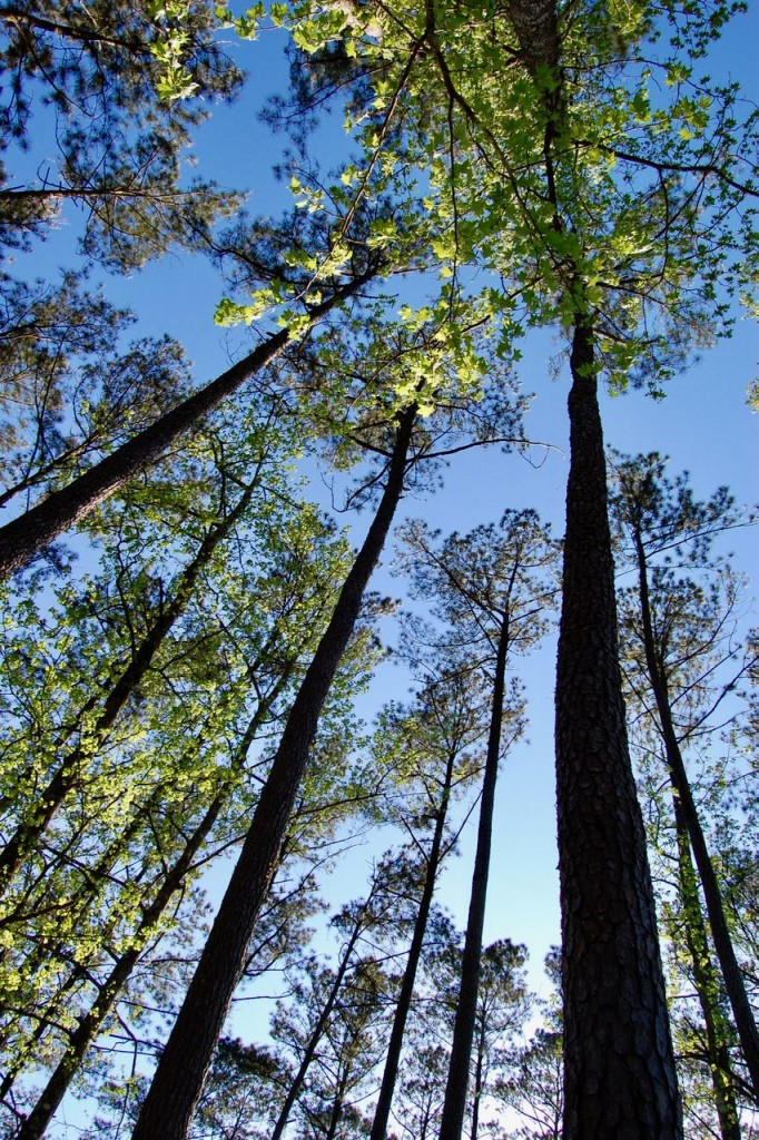 A view up into the trees in East Feliciana Parish, March 2009